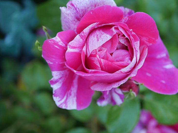フランボワーズ-バニーユ(ツルバラ)の花が咲いた。2020年-9.jpg
