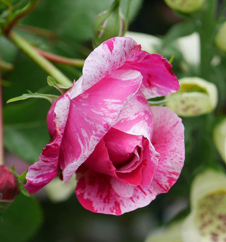 フランボワーズ-バニーユ(ツルバラ)の花が咲きだした。2020年-2.jpg