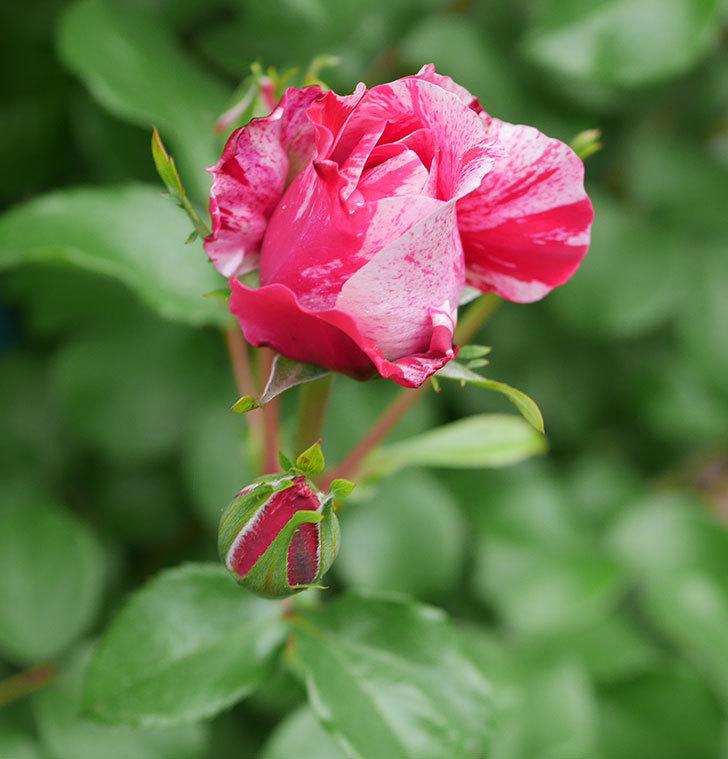 フランボワーズ-バニーユ(ツルバラ)の花が咲きだした。2020年-3.jpg