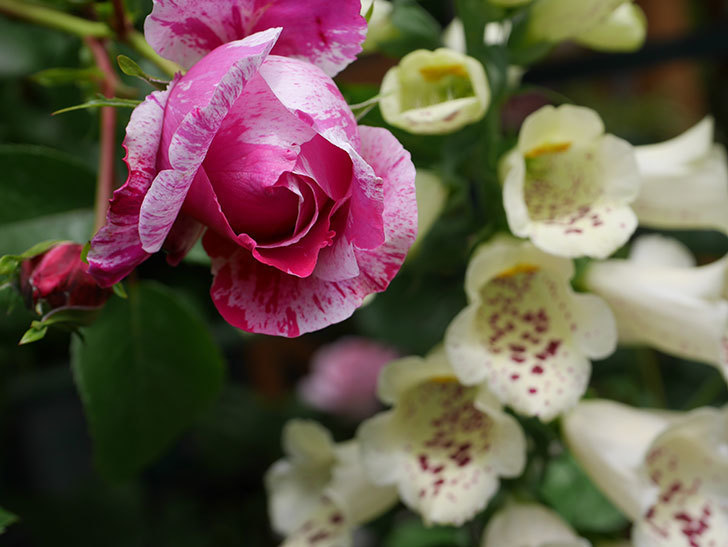 フランボワーズ-バニーユ(ツルバラ)の花が咲きだした。2020年-6.jpg