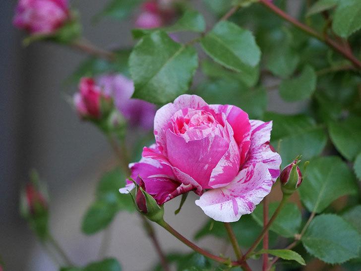 フランボワーズ-バニーユ(ツルバラ)の花が増えてきた。2020年-11.jpg