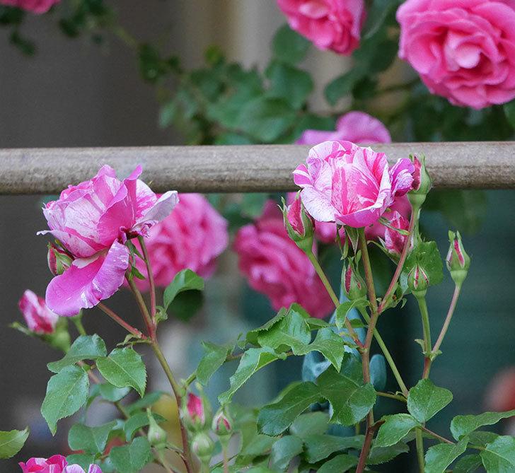 フランボワーズ-バニーユ(ツルバラ)の花が増えてきた。2020年-12.jpg