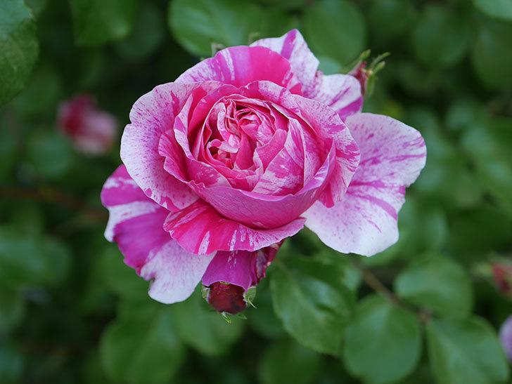 フランボワーズ-バニーユ(ツルバラ)の花が増えてきた。2020年-15.jpg