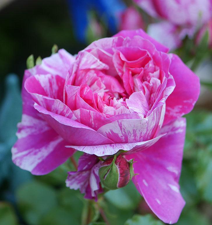 フランボワーズ-バニーユ(ツルバラ)の花が増えてきた。2020年-16.jpg