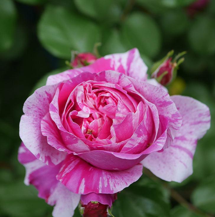 フランボワーズ-バニーユ(ツルバラ)の花が増えてきた。2020年-3.jpg