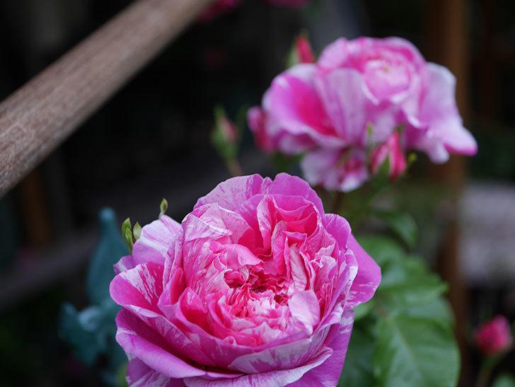 フランボワーズ-バニーユ(ツルバラ)の花が増えてきた。2020年-4.jpg