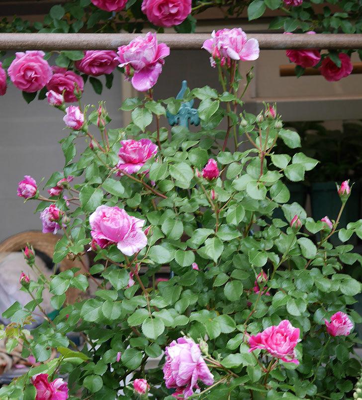 フランボワーズ-バニーユ(ツルバラ)の花が増えてきた。2020年-5.jpg