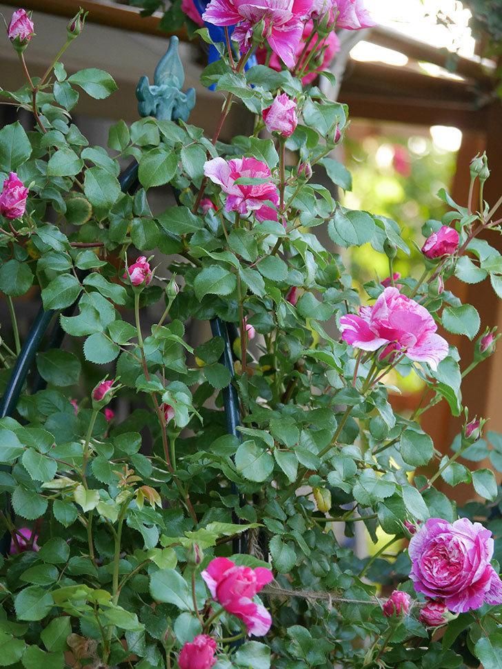 フランボワーズ-バニーユ(ツルバラ)の花が増えてきた。2020年-6.jpg