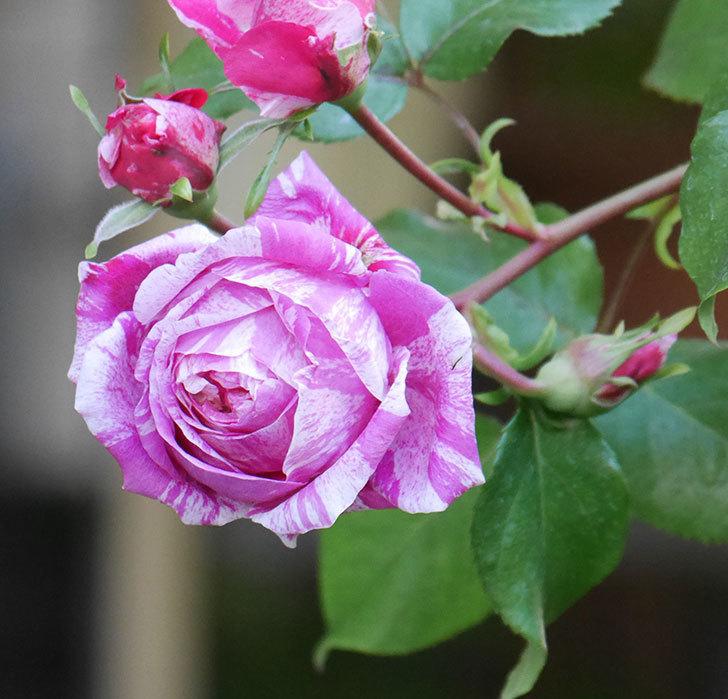フランボワーズ-バニーユ(ツルバラ)の花が増えてきた。2020年-9.jpg