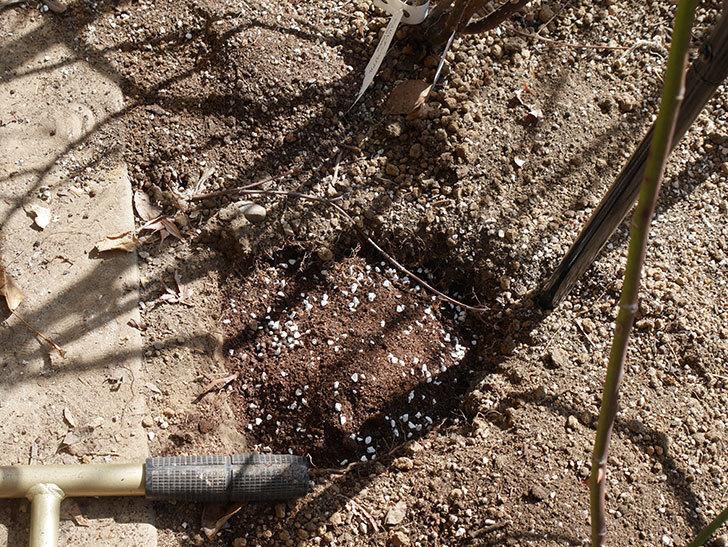 フランボワーズ バニーユ(Framboise Vanille)に寒肥を施した。ツルバラ。2021年-012.jpg