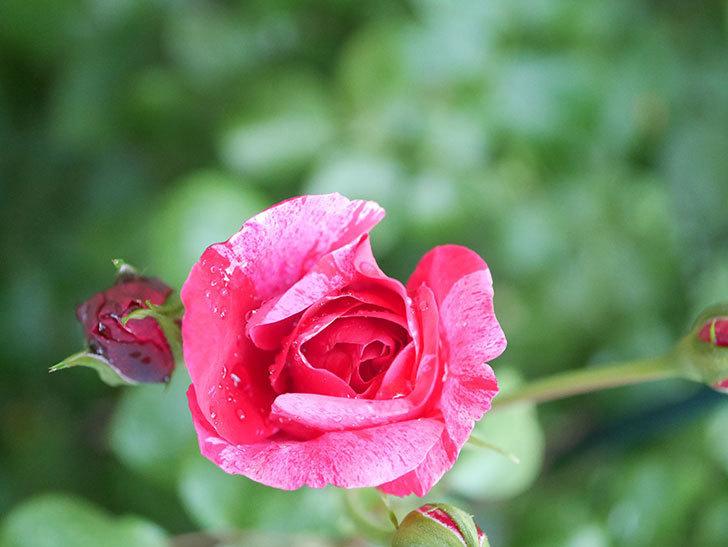 フランボワーズ バニーユ(Framboise Vanille)の2番花が咲いた。ツルバラ。2020年-002.jpg