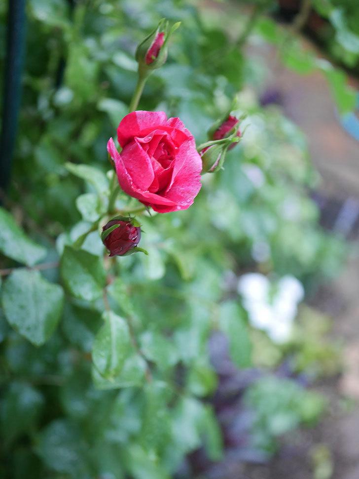フランボワーズ バニーユ(Framboise Vanille)の2番花が咲いた。ツルバラ。2020年-003.jpg