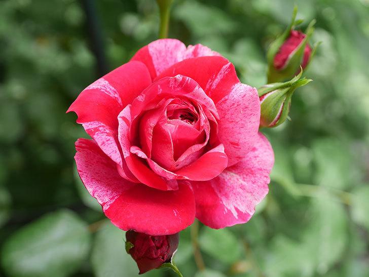 フランボワーズ バニーユ(Framboise Vanille)の2番花が咲いた。ツルバラ。2020年-008.jpg