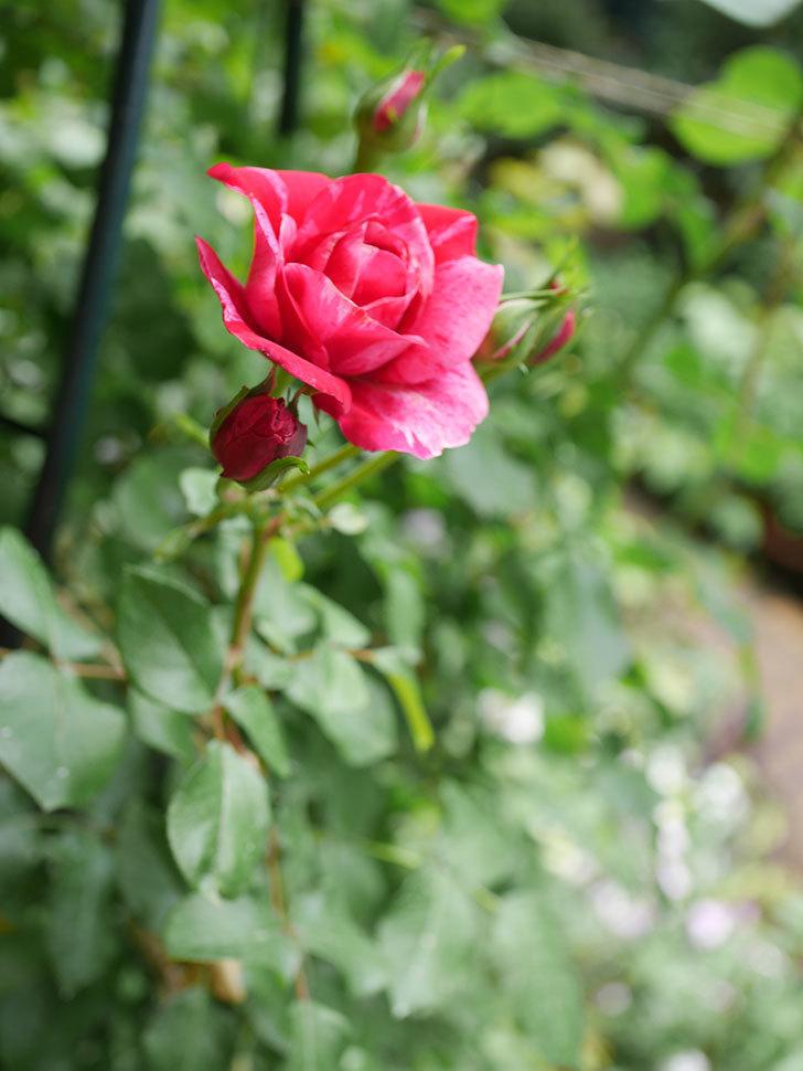 フランボワーズ バニーユ(Framboise Vanille)の2番花が咲いた。ツルバラ。2020年-012.jpg