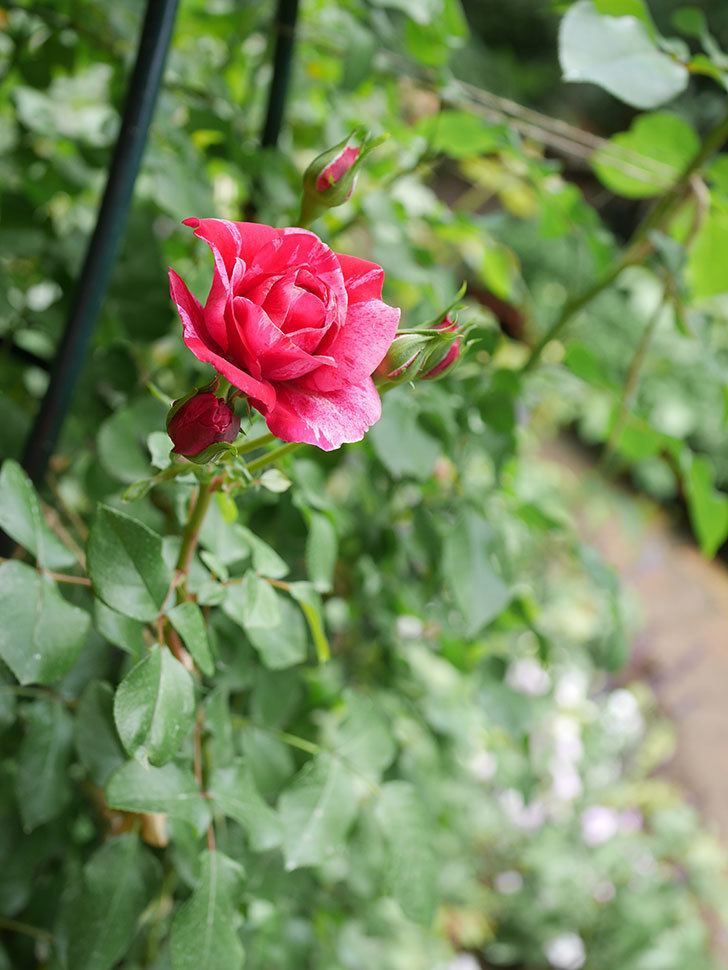 フランボワーズ バニーユ(Framboise Vanille)の2番花が咲いた。ツルバラ。2020年-013.jpg