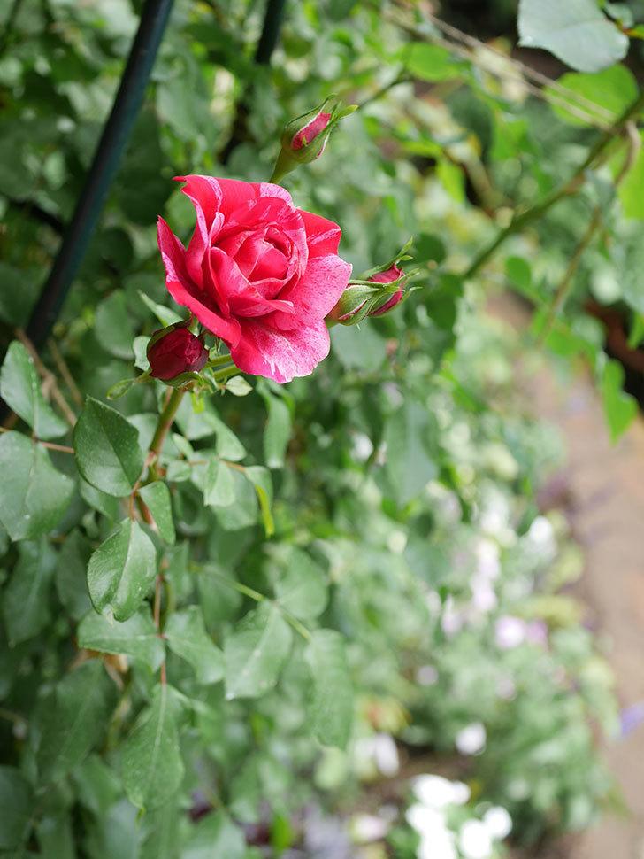 フランボワーズ バニーユ(Framboise Vanille)の2番花が咲いた。ツルバラ。2020年-014.jpg