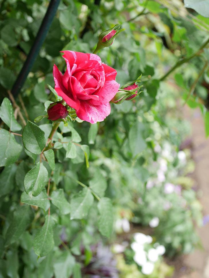 フランボワーズ バニーユ(Framboise Vanille)の2番花が咲いた。ツルバラ。2020年-015.jpg
