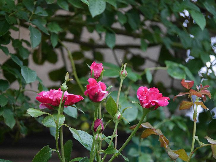フランボワーズ バニーユ(Framboise Vanille)の2番花が増えてきた。ツルバラ。2020年-009.jpg
