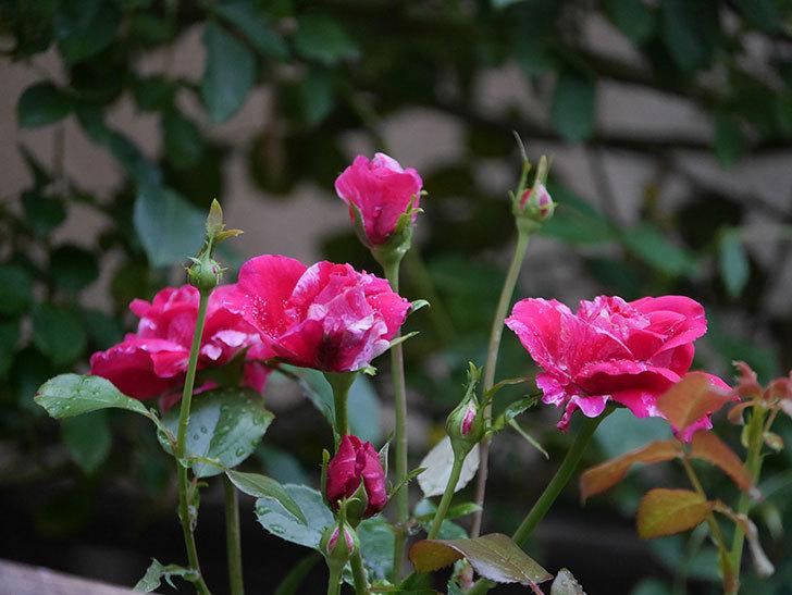 フランボワーズ バニーユ(Framboise Vanille)の2番花が房で咲いた。ツルバラ。2020年-002.jpg