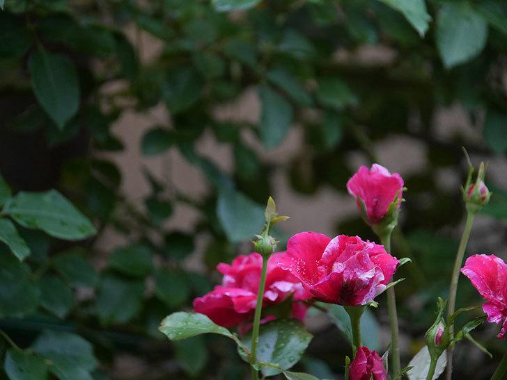 フランボワーズ バニーユ(Framboise Vanille)の2番花が房で咲いた。ツルバラ。2020年-003.jpg