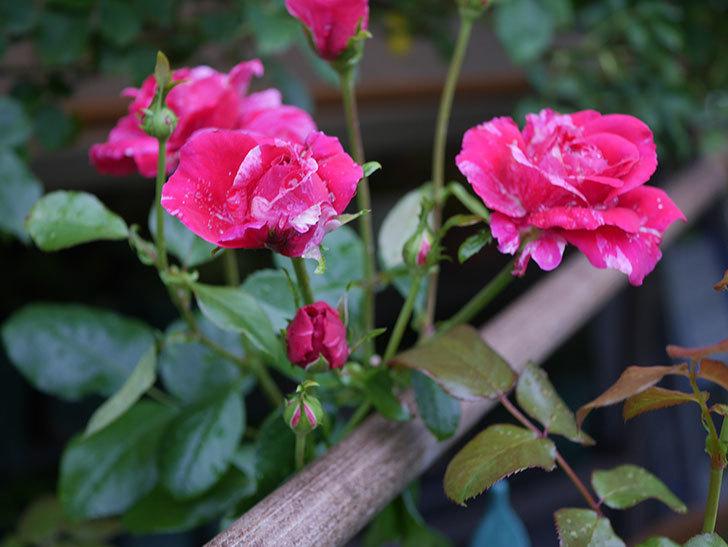 フランボワーズ バニーユ(Framboise Vanille)の2番花が房で咲いた。ツルバラ。2020年-006.jpg