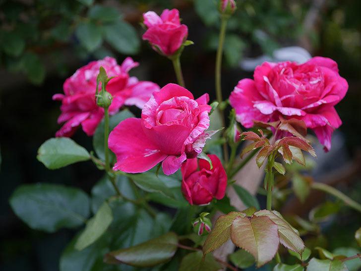 フランボワーズ バニーユ(Framboise Vanille)の2番花が房で咲いた。ツルバラ。2020年-007.jpg