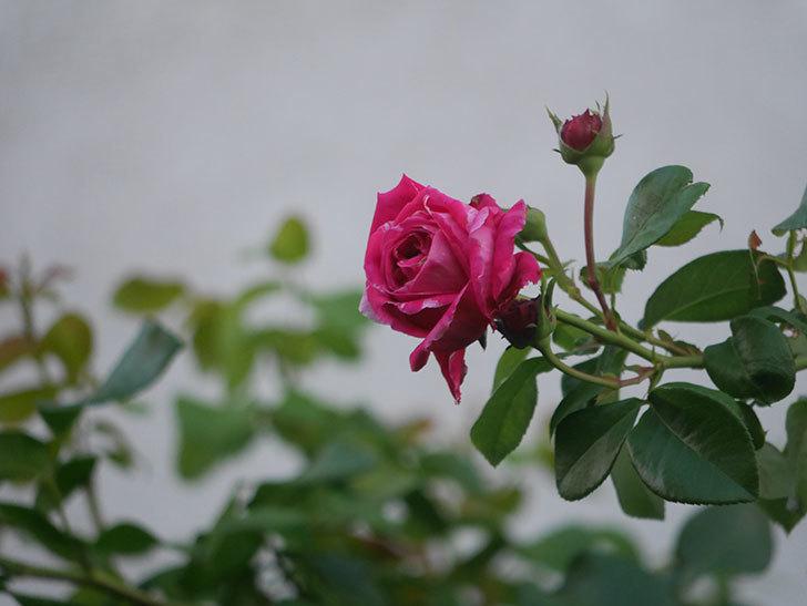 フランボワーズ バニーユ(Framboise Vanille)の夏花が咲いた。2021年-001.jpg