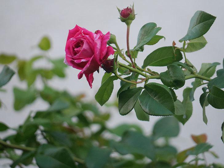 フランボワーズ バニーユ(Framboise Vanille)の夏花が咲いた。2021年-002.jpg