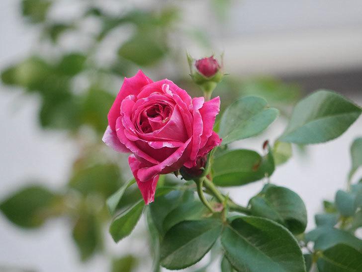 フランボワーズ バニーユ(Framboise Vanille)の夏花が咲いた。2021年-003.jpg