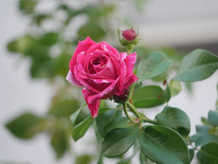 フランボワーズ バニーユ(Framboise Vanille)の夏花が咲いた。2021年-004.jpg