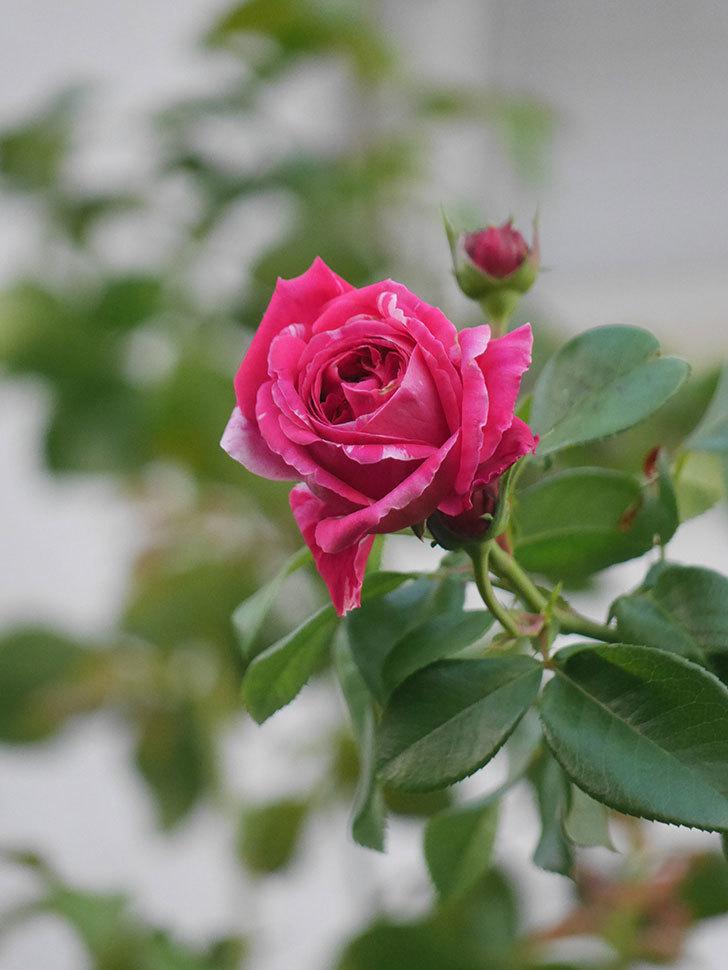 フランボワーズ バニーユ(Framboise Vanille)の夏花が咲いた。2021年-005.jpg