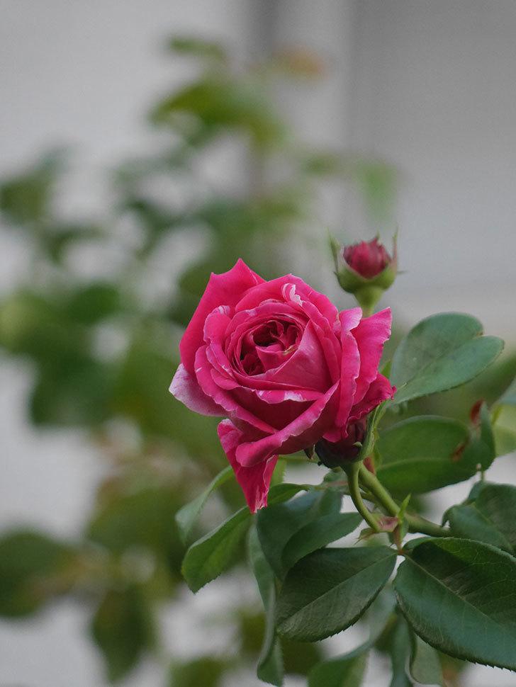 フランボワーズ バニーユ(Framboise Vanille)の夏花が咲いた。2021年-006.jpg