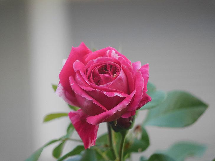 フランボワーズ バニーユ(Framboise Vanille)の夏花が咲いた。2021年-007.jpg