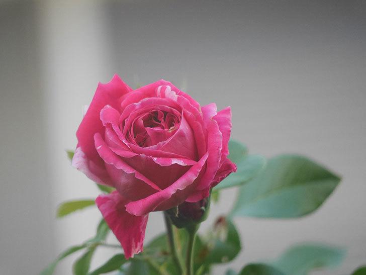 フランボワーズ バニーユ(Framboise Vanille)の夏花が咲いた。2021年-008.jpg