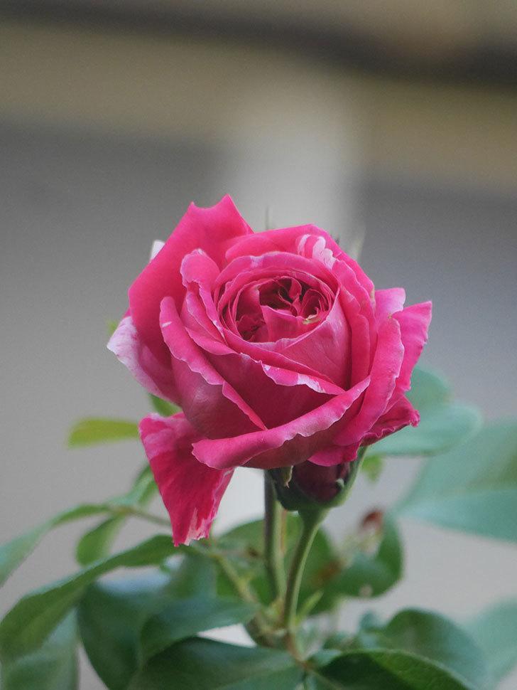 フランボワーズ バニーユ(Framboise Vanille)の夏花が咲いた。2021年-009.jpg