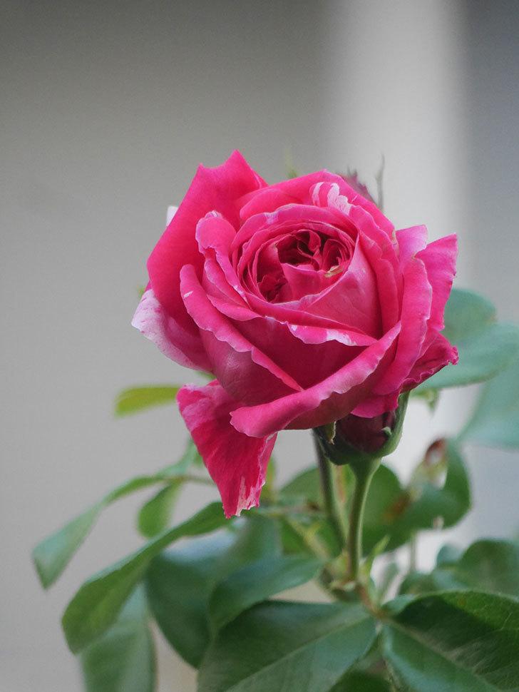 フランボワーズ バニーユ(Framboise Vanille)の夏花が咲いた。2021年-010.jpg