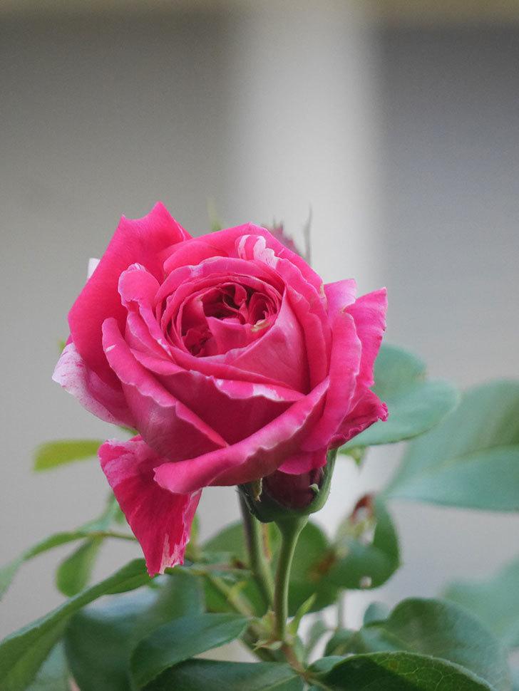 フランボワーズ バニーユ(Framboise Vanille)の夏花が咲いた。2021年-011.jpg