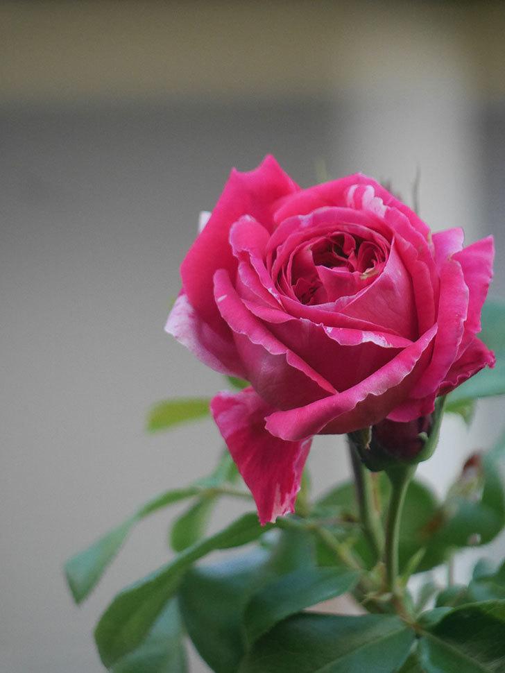 フランボワーズ バニーユ(Framboise Vanille)の夏花が咲いた。2021年-012.jpg