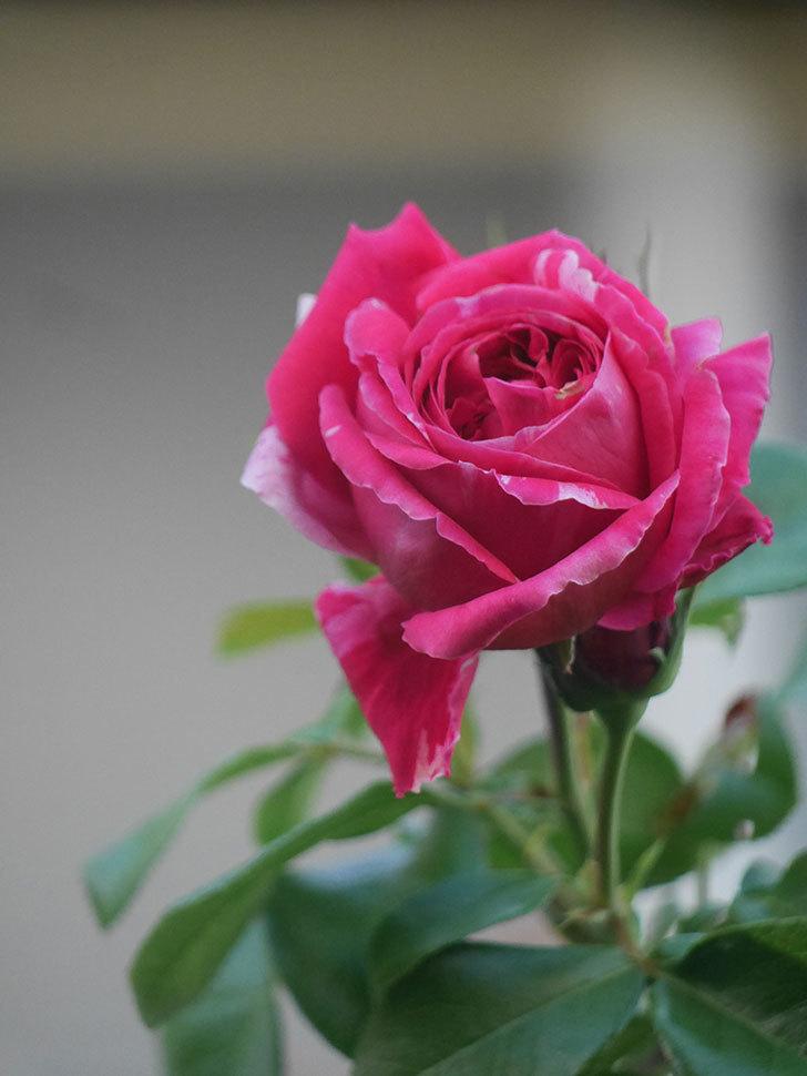 フランボワーズ バニーユ(Framboise Vanille)の夏花が咲いた。2021年-013.jpg
