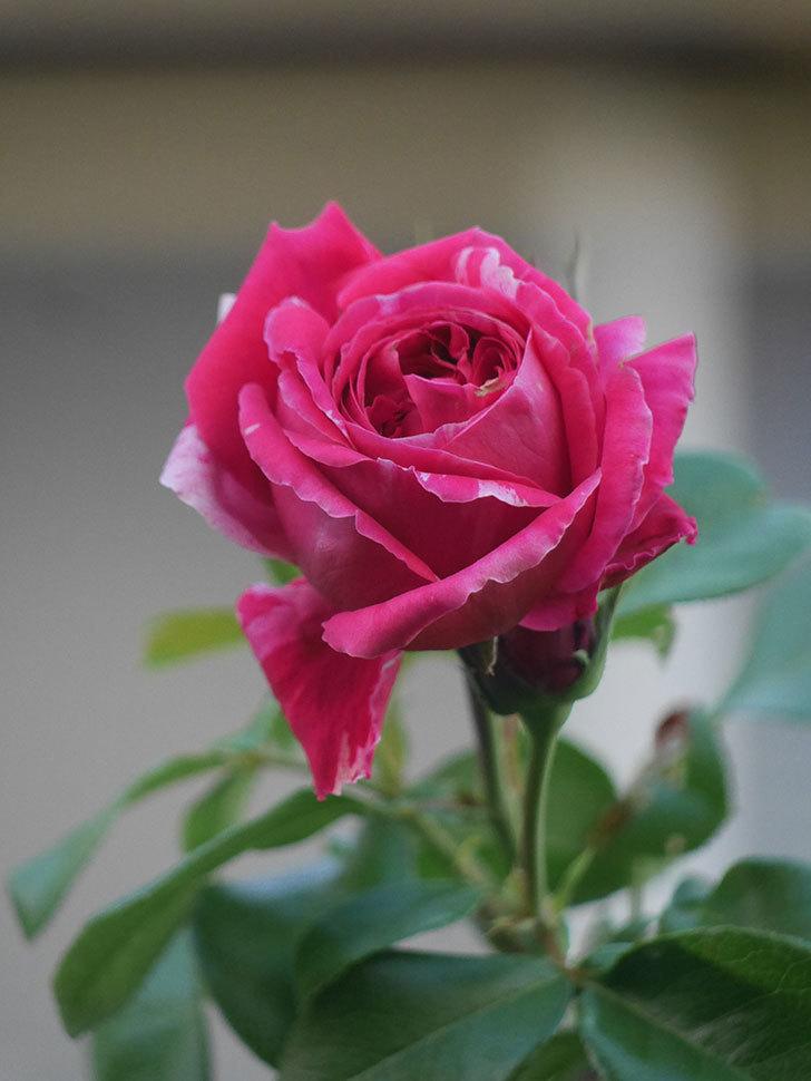 フランボワーズ バニーユ(Framboise Vanille)の夏花が咲いた。2021年-014.jpg