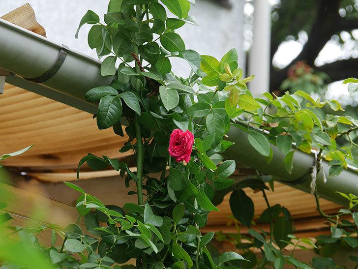 フランボワーズ バニーユ(Framboise Vanille)の夏花が咲いた。ツルバラ。2020年-001.jpg