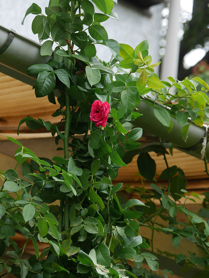 フランボワーズ バニーユ(Framboise Vanille)の夏花が咲いた。ツルバラ。2020年-002.jpg