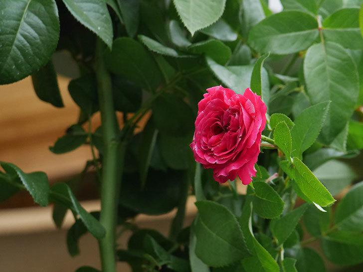 フランボワーズ バニーユ(Framboise Vanille)の夏花が咲いた。ツルバラ。2020年-003.jpg