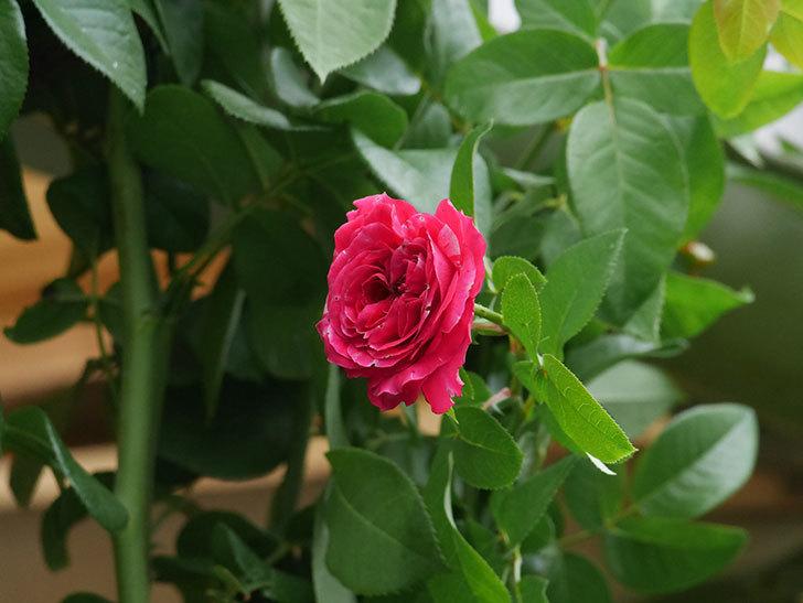 フランボワーズ バニーユ(Framboise Vanille)の夏花が咲いた。ツルバラ。2020年-004.jpg