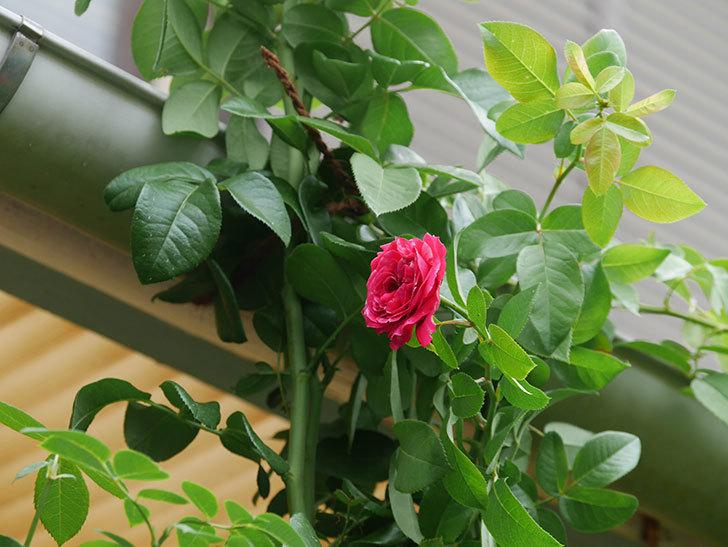 フランボワーズ バニーユ(Framboise Vanille)の夏花が咲いた。ツルバラ。2020年-006.jpg