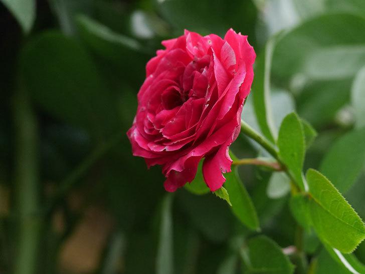 フランボワーズ バニーユ(Framboise Vanille)の夏花が咲いた。ツルバラ。2020年-007.jpg