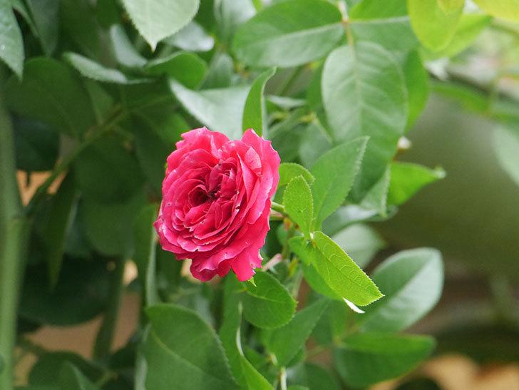 フランボワーズ バニーユ(Framboise Vanille)の夏花が咲いた。ツルバラ。2020年-009.jpg