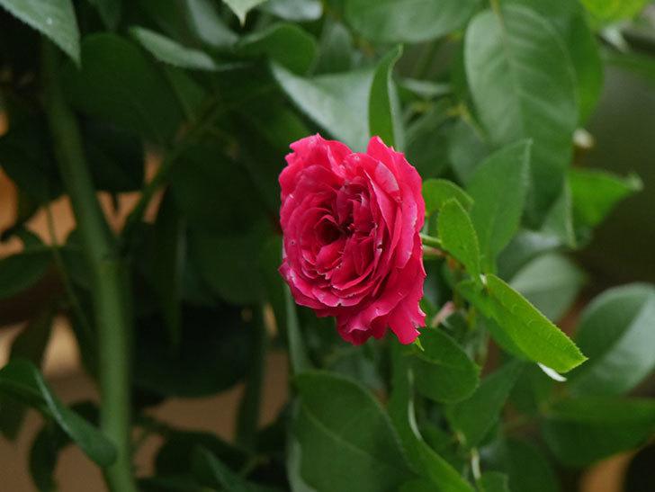 フランボワーズ バニーユ(Framboise Vanille)の夏花が咲いた。ツルバラ。2020年-010.jpg