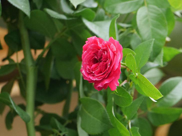 フランボワーズ バニーユ(Framboise Vanille)の夏花が咲いた。ツルバラ。2020年-011.jpg