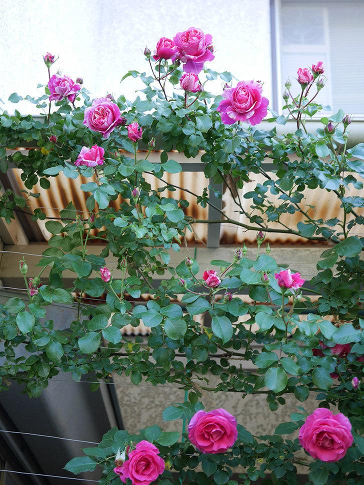 フランボワーズ バニーユ(Framboise Vanille)の花がたくさん咲いた。2021年-001.jpg